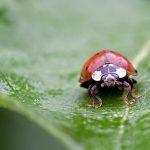 Larven van lieveheersbeestjes kunnen je helpen in de tuin